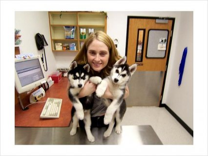 Adorable siberian husky puppies for adoption