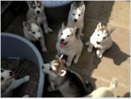 صور Adorable siberian husky puppies for adoption 2