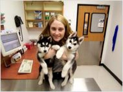 Adorable siberian husky puppies looking for good h