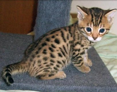 R Exotic bengal kitten