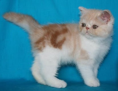 wAmerican Shorthair Kittens
