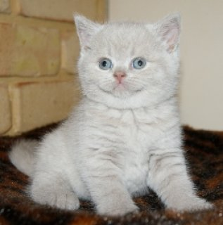 WHITE GOOD LOOKING BRITISH KITTENS NOW AVAILABLE