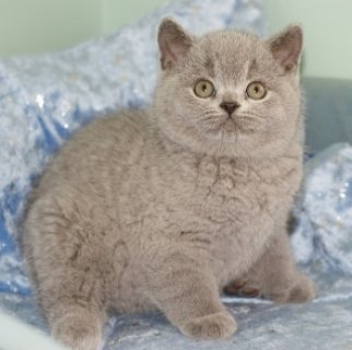 LIGHTUP SHORTHAIR KITTENS LOOKING FOR REHOMING