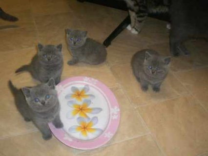 Blue British Shorthair kittens5
