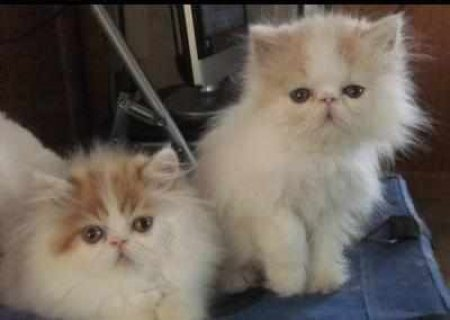 CFA PERSIAN AND HIMALAYANS