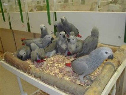 African Grey parrots and parrot eggs for sales