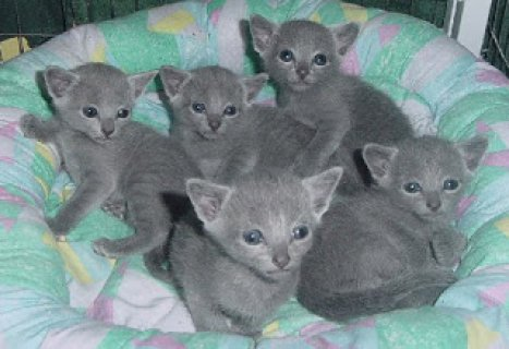Russian Blue kittensAA
