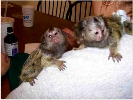 Pair of Pygmy Marmoset Monkeys for Adoption