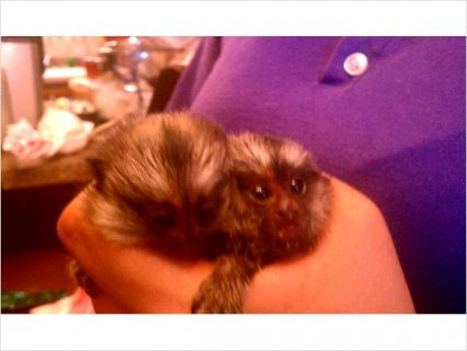 Nice baby marmoset for sale
