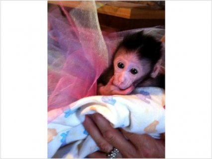 Baby MONKEY FOR SALE -