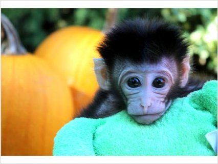 صور Baby Monkey FOR SALE1 1