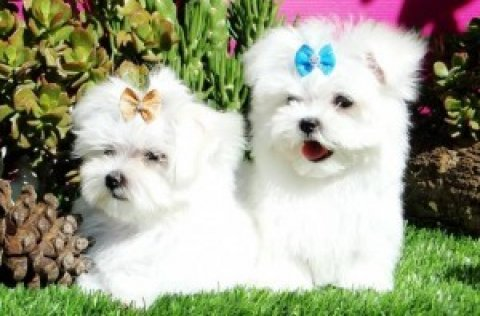 TWO LOVELY MALTESE PUPPIES FOR NEW YEAR GIFT!!!!!!
