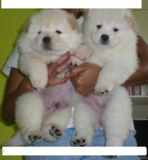 HEALTHY CHOW CHOW PUPPIES FOR YOU