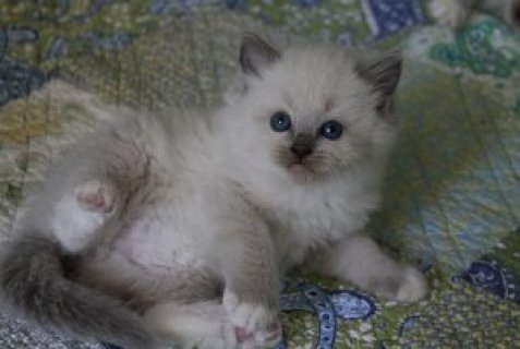 Two White Rogdoll Kittens