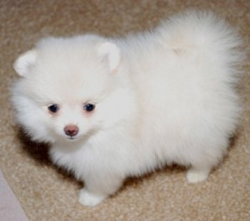 Male Pomeranian Puppy