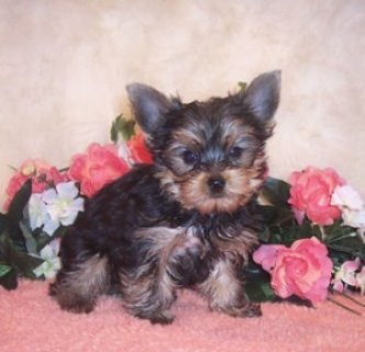 Yorkie Puppies Available for Re-homing