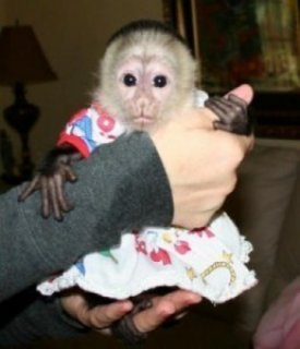 Well house trained female baby capuchin monkey for