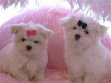 صور Adorable Maltese Puppies for Sale. MUST SEE 1