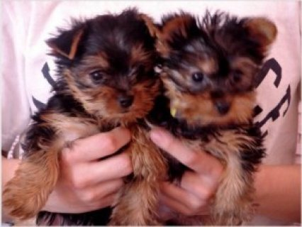 T-cup Yorkshire Terrier Puppies