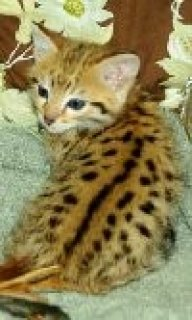 Stunning C F2 Female Savannah Available