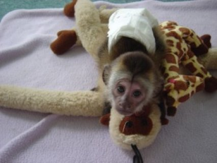healthy vet cheched capuchin monkey for adoption