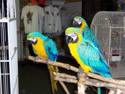 صور Awesome Pair Blue & Gold Macaw Parrots 1