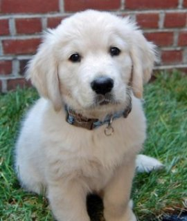 صور Beautiful Golden Retriever Puppies 1