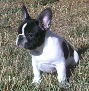 صور French Bulldog Puppy 1