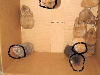 احلا انواع الهمستر الدبدوب
