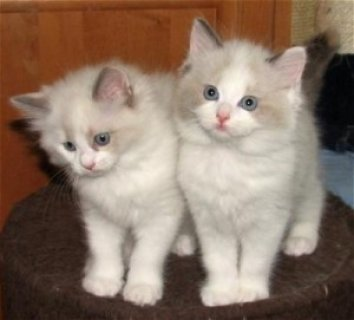 Excellent Ragdoll Kittens Available For Any Good H