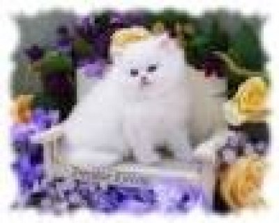 ADORABLE MALE AND FEMALE PERSIAN KITTENS FOR ADOPT