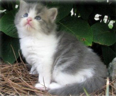 cute and beautiful blue point persian kitten for a