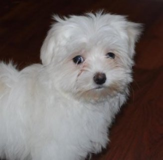Maltese puppies cute teacup female and male for ad