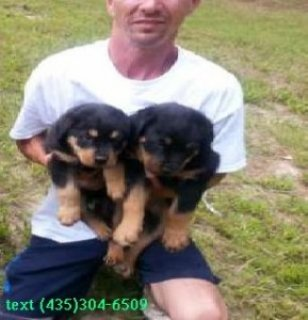 Intelligent Rottweiler Puppies