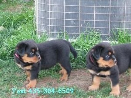 AKC-registered Rottweiler Pups