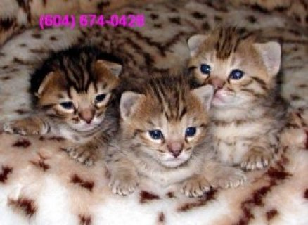 Gorgeous Savannah and Serval Cubs for Sale