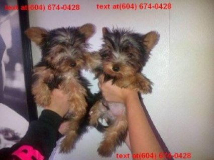 Beautiful Yorkie Poo Puppies