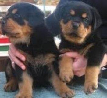 13 Weeks Old Teacup Yorkie Pups