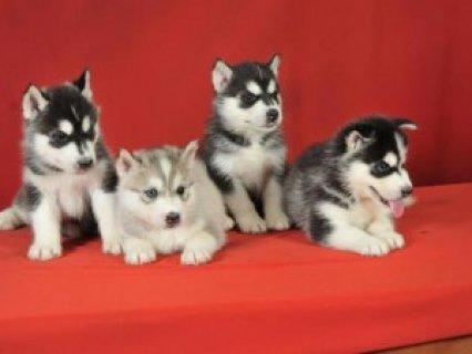 Blue Eyed Siberian Husky Pups