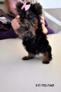 Teacup Yorkie Female