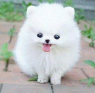 Pomeranian Puppy Female AKC