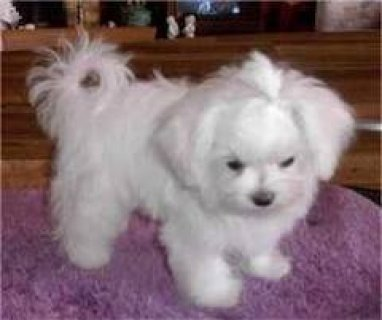 Awesome Male And Female Maltese Puppies