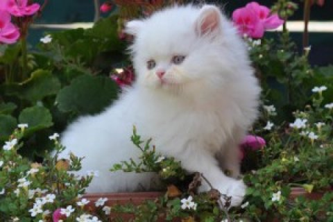 Persian Kittens Available for  xmas