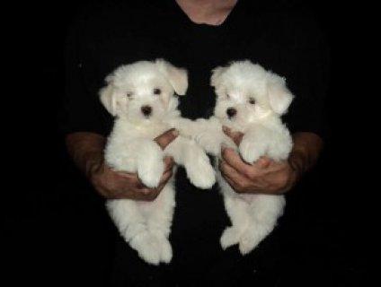 Purebred Maltese Puppies