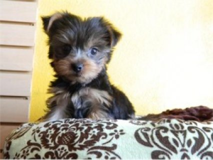 صور Teacup Yorkie Puppies for Re-homing 1