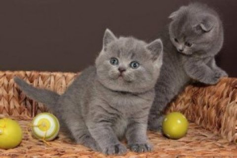 British Short Hair Kittens For Exmass