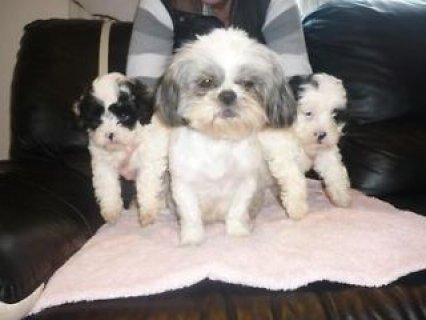 Toy poodle puppies Ready for new homes now.