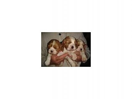 king charles puppies
