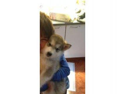 KC registered Alaskan Malamute Pups A