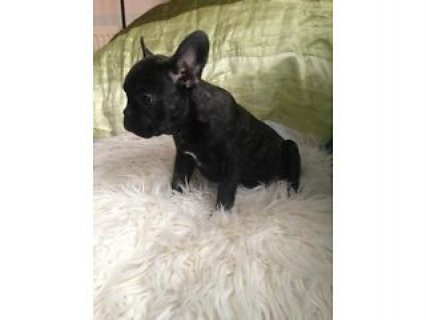 صور BRILLIANT FRENCH BULLDOG PUP !!!  1